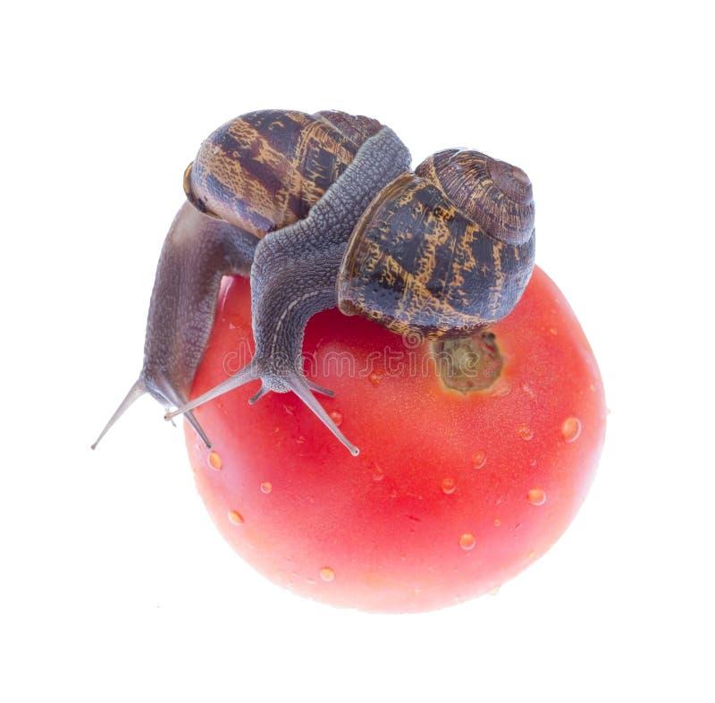 Ogrodowi ślimaczki. zdjęcie stock