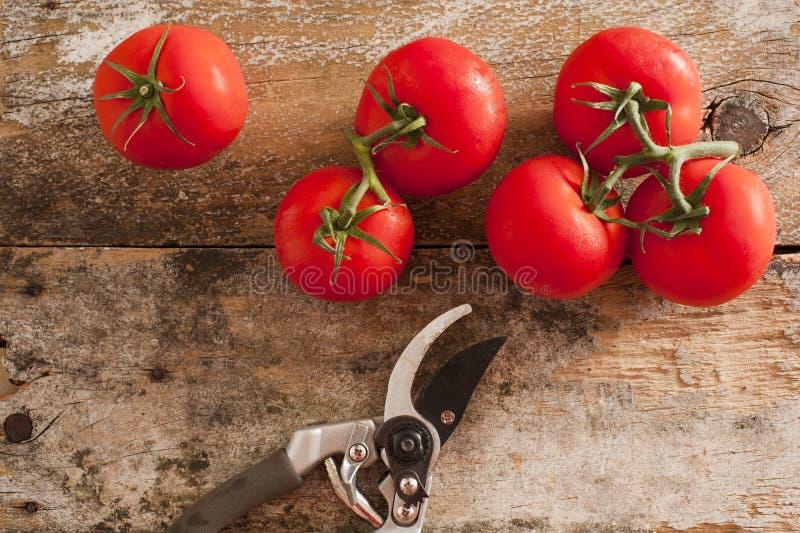 Ogrodowi świezi pomidory z przycinać strzyżenia obraz royalty free