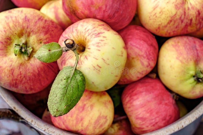 Ogrodowi jabłka w starej aluminiowej niecce zdjęcie stock