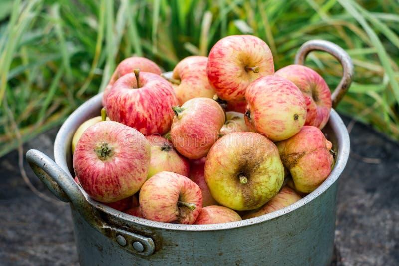 Ogrodowi jabłka w starej aluminiowej niecce zdjęcie royalty free