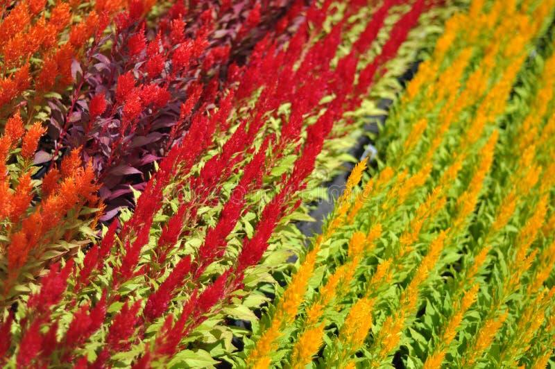Ogrodowi pepiniera kwiaty zdjęcia stock