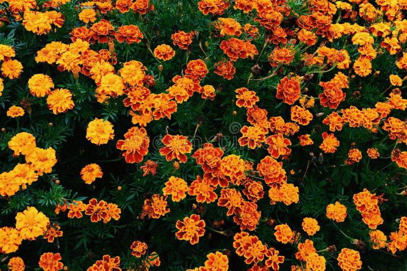 Ogrodowi pomarańcze kwiaty zdjęcia stock