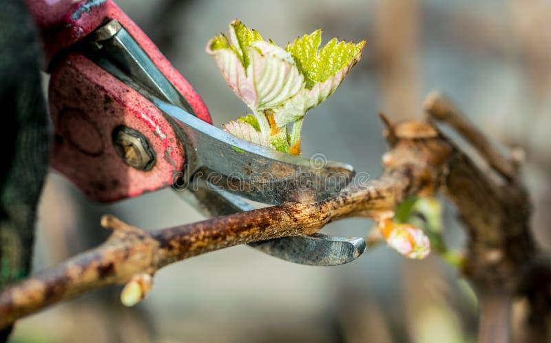 Ogrodowi strzyżenia i wiosny gałąź winograd fotografia royalty free