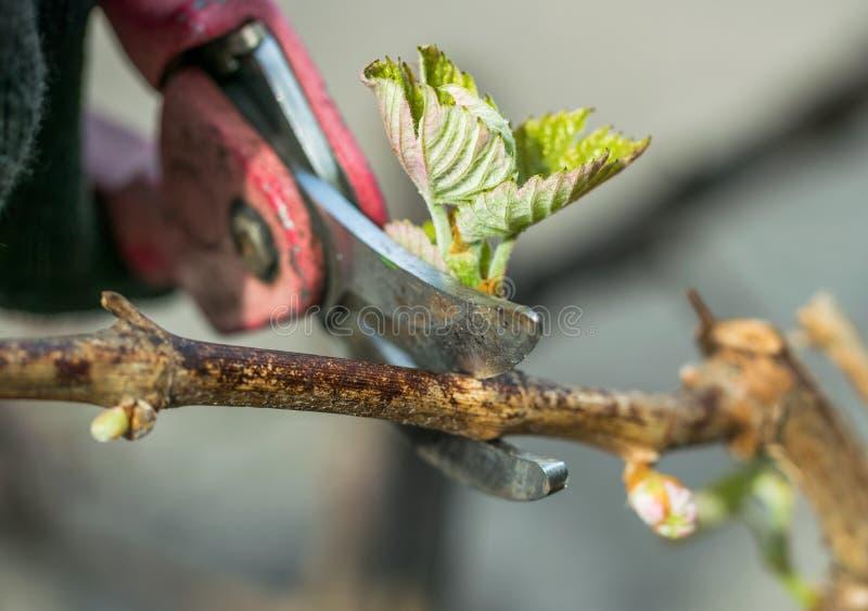 Ogrodowi strzyżenia i wiosny gałąź winograd zdjęcia stock
