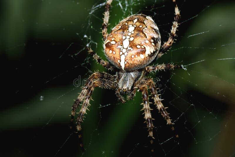 ogrodowy łowiecki pająk zdjęcia royalty free
