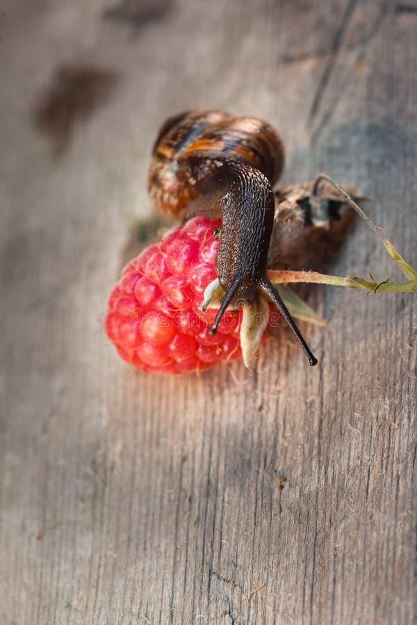 Ogrodowy ślimaczek, Helix aspersa na czerwonych malinkach zdjęcie stock