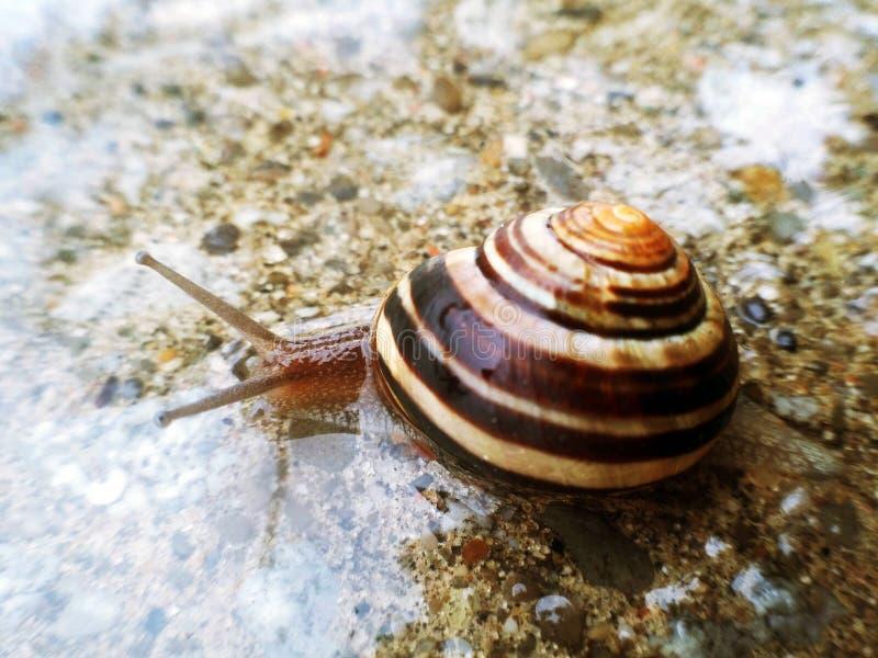 Ogrodowy ślimaczek na mokrej drodze fotografia stock