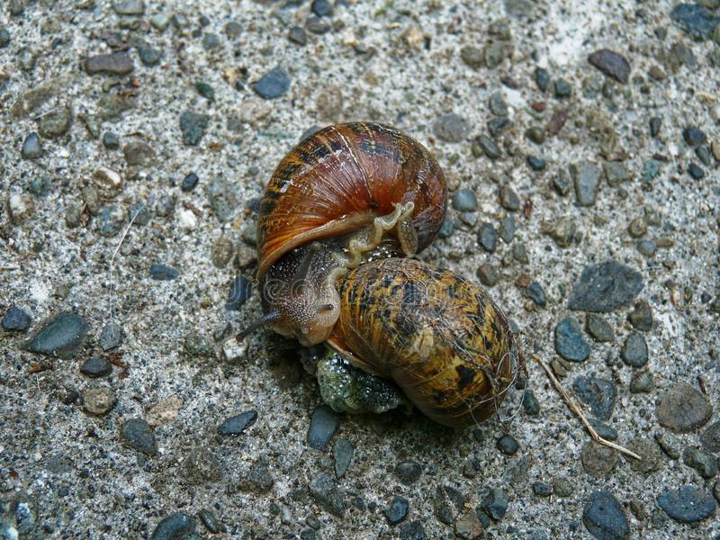 Ogrodowy ślimaczek z brązu i czerni skorupami zdjęcie royalty free