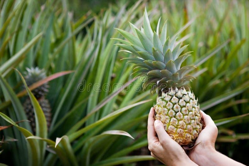 ogrodowy ananas obraz royalty free