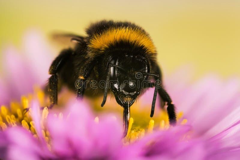 Ogrodowy Bumblebee, Bumblebee, Bombus hortorum zdjęcie stock
