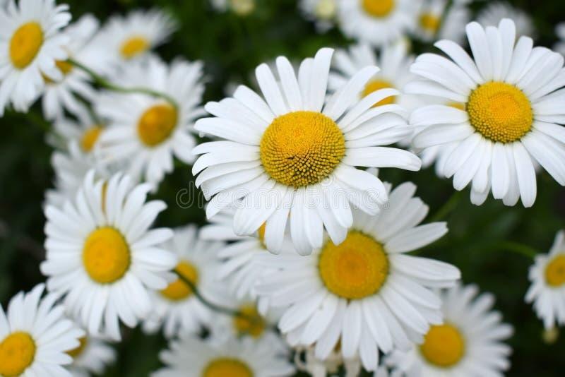 ogrodowy chamomiles biel fotografia stock