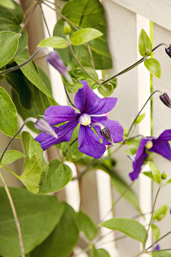 Ogrodowy clematis obraz royalty free