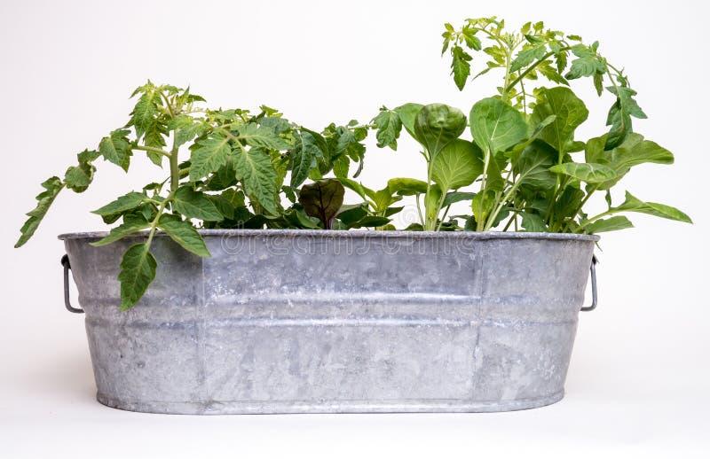 ogrodowy flancowanie zasadza wiosna warzywa potomstwa fotografia stock