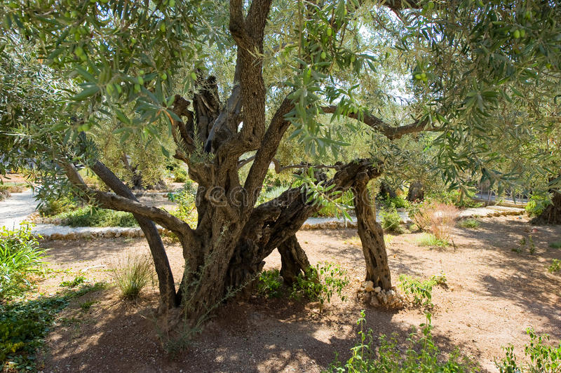 ogrodowy gethsemane obrazy stock