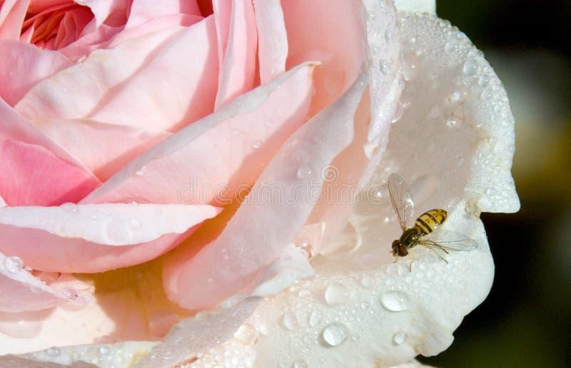 Download Ogrodowy Insekt obraz stock. Obraz złożonej z czerń, yellow - 128005