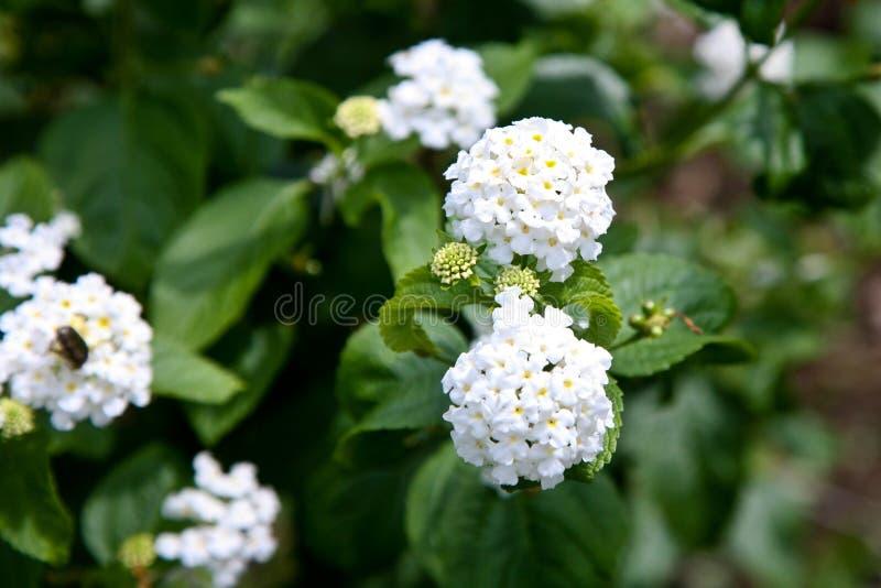 ogrodowy kwiat inni kolorów kwiatów obrazka znacząco unikalni rozmiary ceni wszystkie negritos cinco camara kwiatów ładny lantana fotografia stock