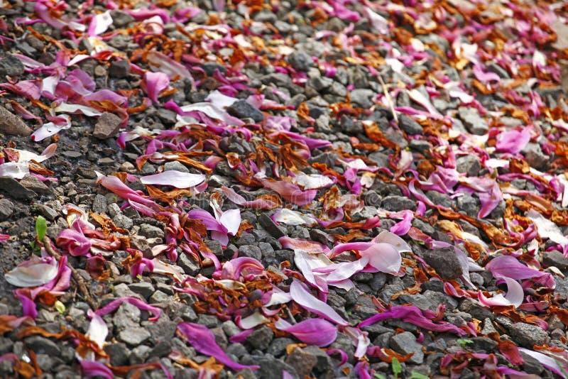 Ogrodowy magnoliowy płatka kamienia tło nikt zdjęcie royalty free