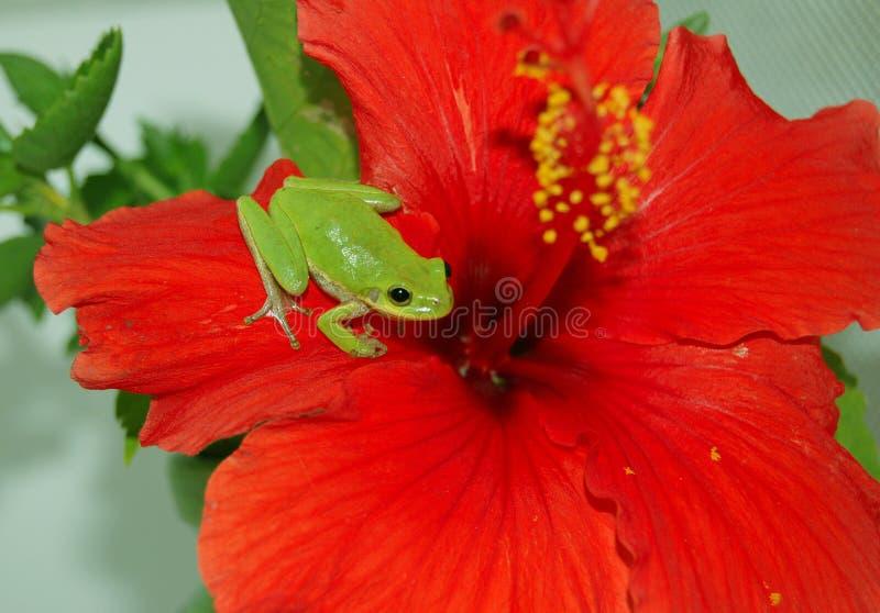 ogrodowy poślubnika czerwieni gość zdjęcia stock