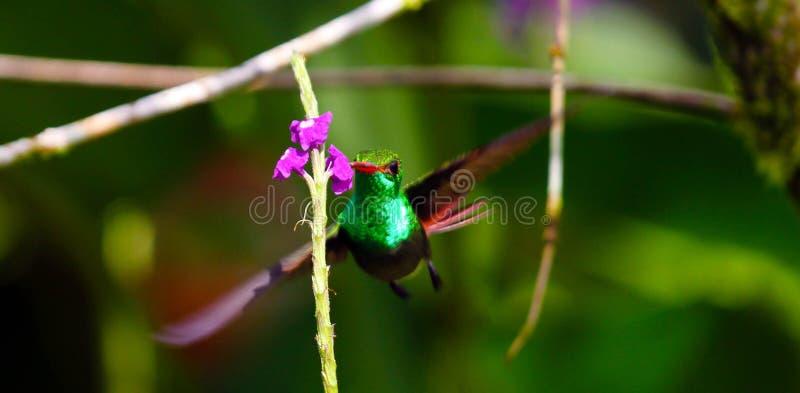 Ogrodowy Szmaragdowy Hummingbird fotografia stock