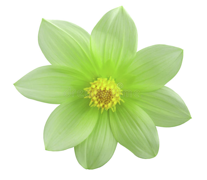 Ogrodowy zielony kwiat, biały odosobniony tło z ścinek ścieżką zbliżenie zdjęcie royalty free