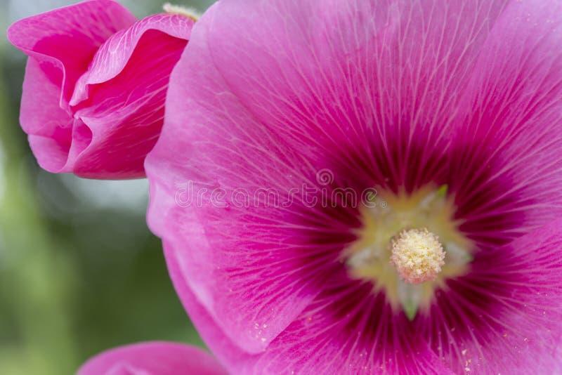 Ogrodowych menchii kwiatu magenta malva w górę Ślazu Malvaceae Alcea wielcy jaskrawi różowi płatki, biały żółty pistil z pollen zdjęcia stock