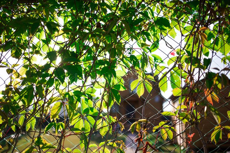 ogrodzenie, przerastający potomstwa zielenieje dziewiczych winogrona fotografia royalty free