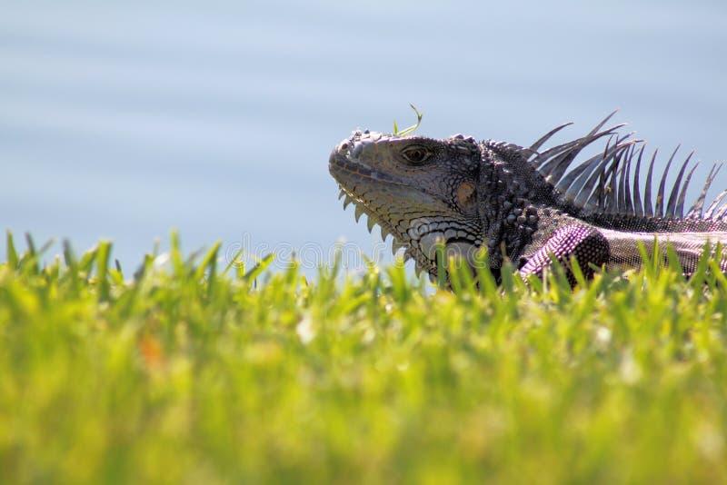 ogromna closup iguana obraz stock