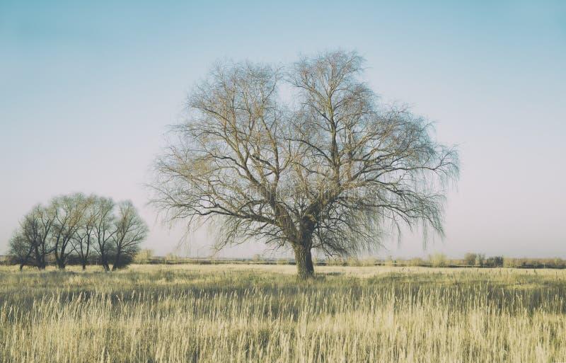 Ogromna wierzba na wielkim jesieni polu trawa, jako tło zdjęcie stock