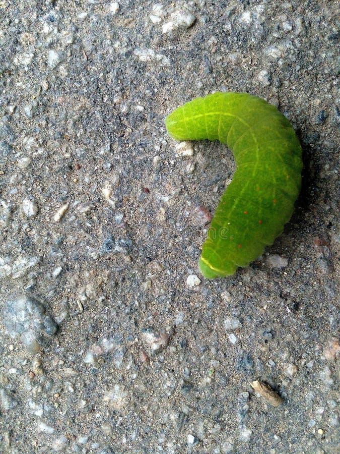 ogromna zielona gąsienica obrazy stock
