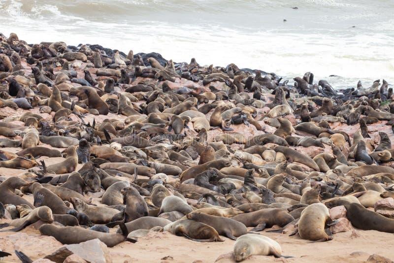 Ogromne kolonie, Brown futerkowa foka, Arctocephalus pusillus, przylądków cros, Namibia obrazy stock