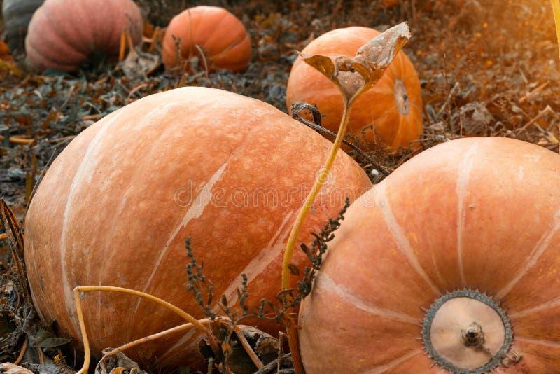 Ogromne złote pomarańczowe dojrzałe banie kłamają na ziemi w ogródzie, w górę, kabaczek fotografia royalty free