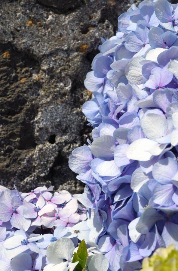 Ogromni kwiatostany błękitnej wielkiej hortensji hortensji Łaciński macrophylla obraz royalty free