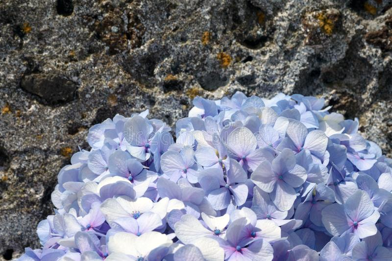 Ogromni kwiatostany błękitnej wielkiej hortensji hortensji Łaciński macrophylla fotografia stock