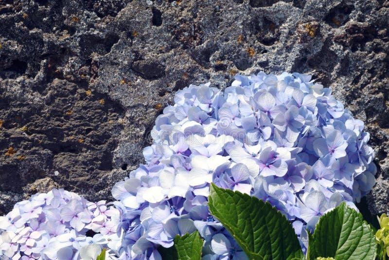 Ogromni kwiatostany błękitnej wielkiej hortensji hortensji Łaciński macrophylla zdjęcia royalty free