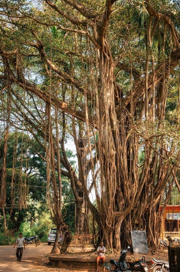 Ogromny banyan drzewo z lianami i gałąź w Goa, India obrazy royalty free