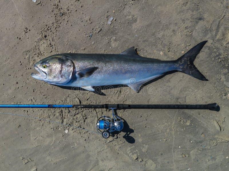 Ogromny bluefish fotografia royalty free