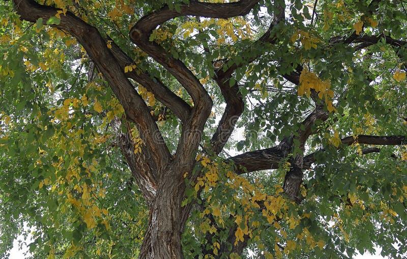 Ogromny cottonwood drzewo z spadku ulistnieniem w Denver fotografia stock