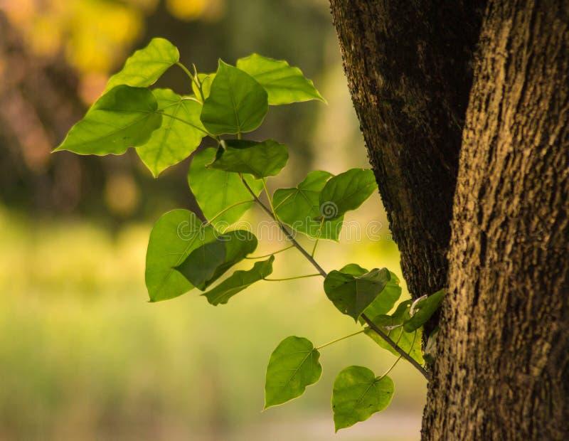 Ogromny dębowy drzewo czyj gałąź różnili się ampuły zieleń wiele opuszcza obrazy stock
