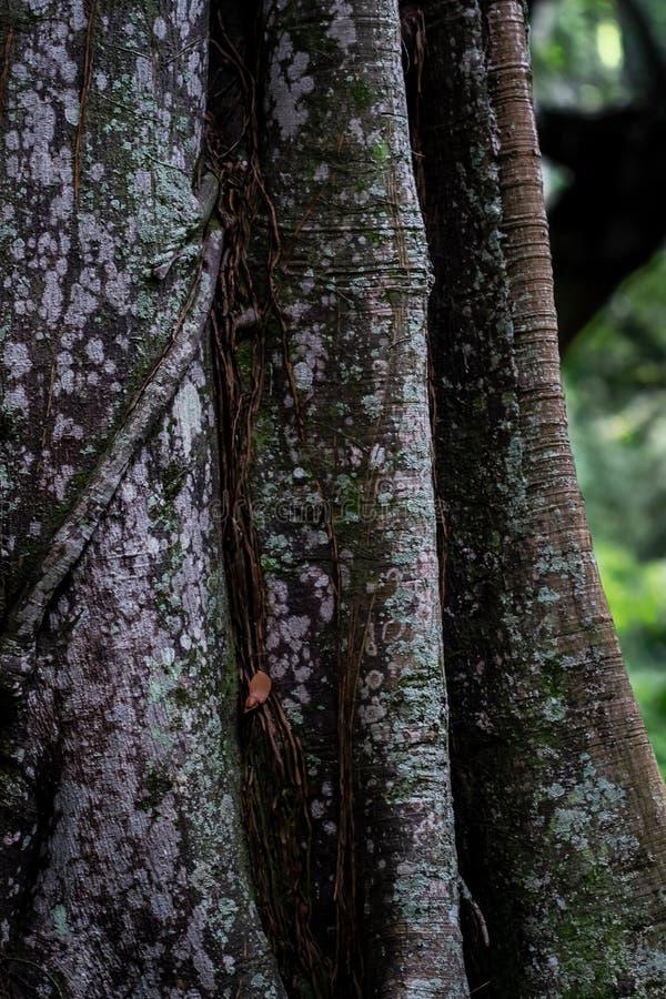 Ogromny drzewo bagażnik obrazy stock