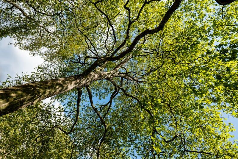 Ogromny drzewo bagażnik obraz royalty free