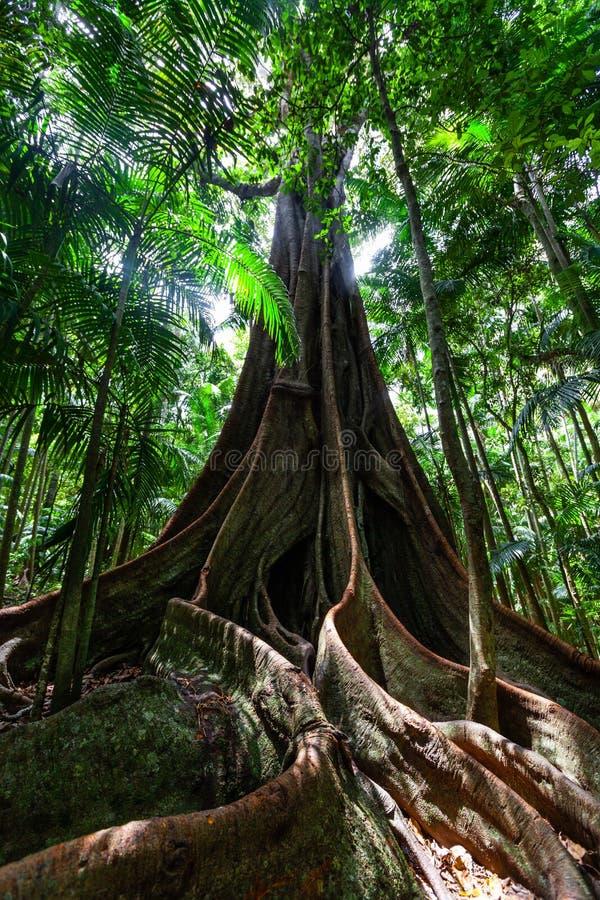 Ogromny figi drzewo zakorzenia w temperate tropikalnym lesie deszczowym obrazy royalty free