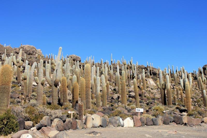 Ogromny Kaktus, Salar De Uyuni, Boliwia zdjęcie stock