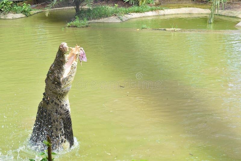 Ogromny krokodyl Próbuje Chapać jedzenie Przeskakuje Z wody obraz royalty free