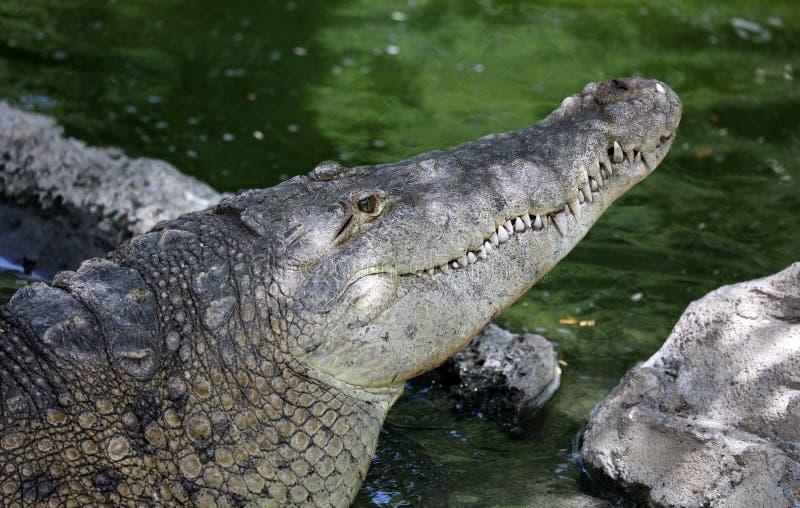 Ogromny krokodyl w d?ungli w po?udniowym America Costa Rica fotografia stock