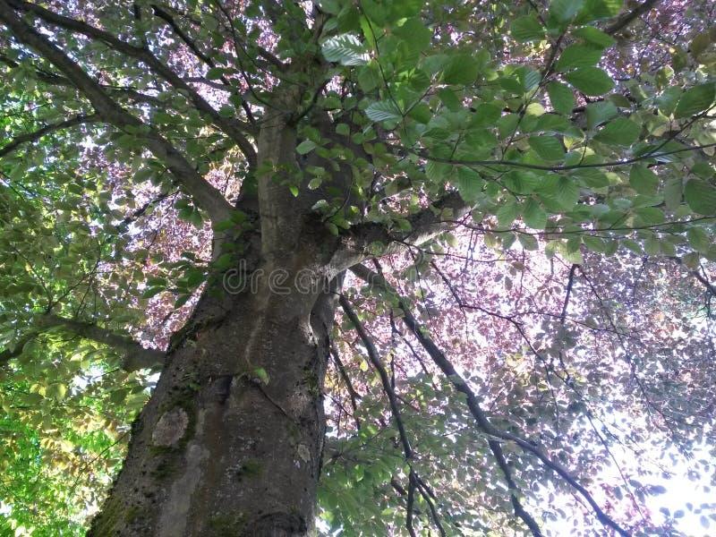 Ogromny miedziany bukowy drzewo zdjęcia stock