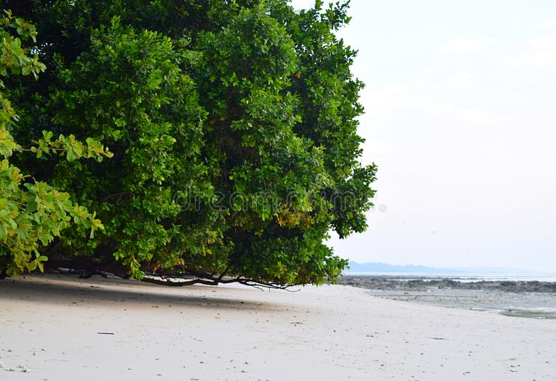 Ogromny Namorzynowy drzewo przy Piaskowatą plażą - Vijaynagar plaża, Havelock wyspa, Andaman Nicobar, India zdjęcia stock