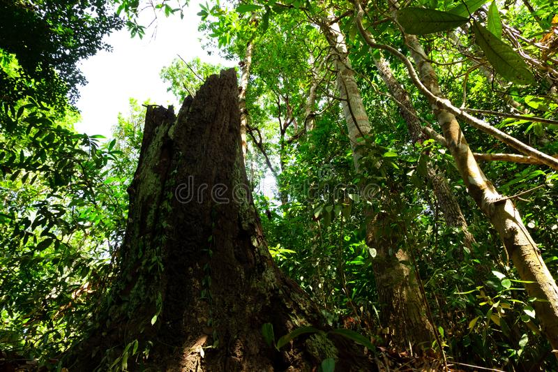 Ogromny nieżywy stary drzewny bagażnik z swój fiszorkiem zakrywającymi w tropikalnym lesie deszczowym barkentyną i zdjęcie stock