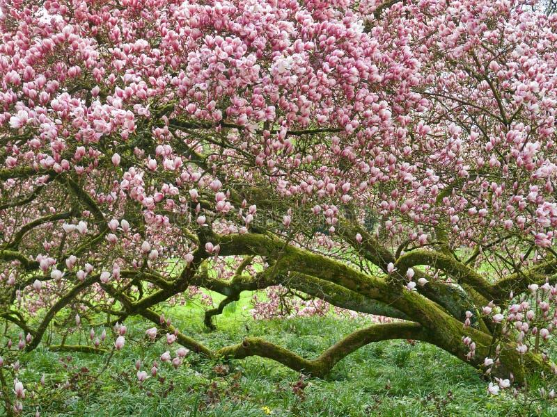 Ogromny różowy kwitnący magnoliowy drzewo obraz stock