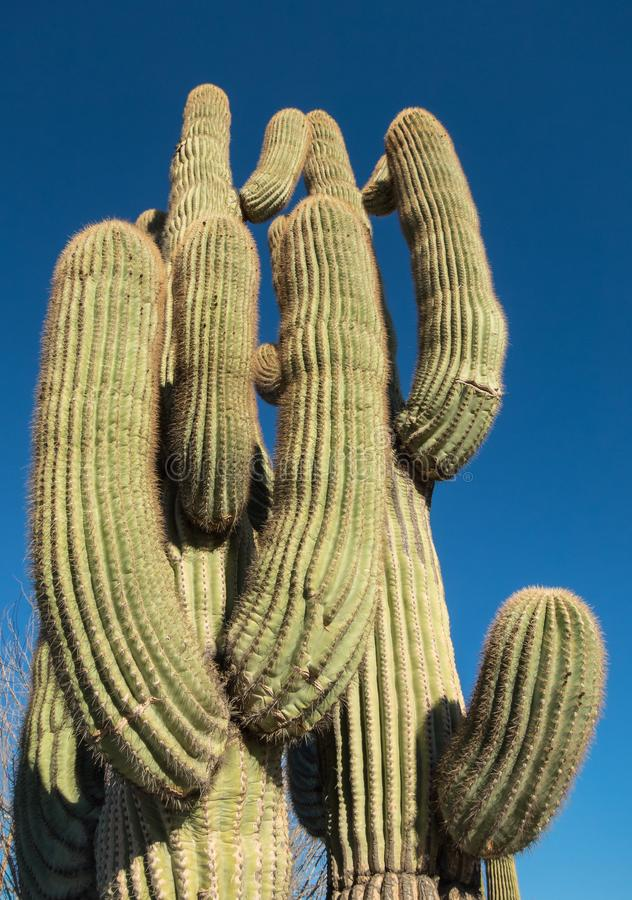 Ogromny Saguaro kaktus obrazy stock
