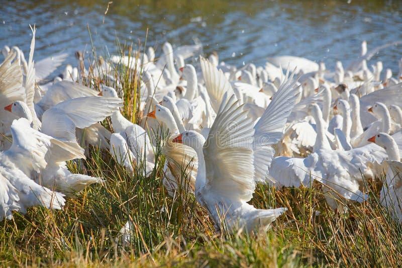 Ogromny stado biega białe gąski chociaż jezioro z obfitością woda kropi fotografia stock